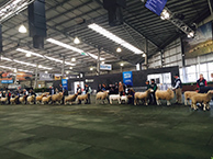 royal melbourne show results damaras